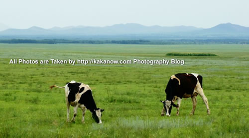 China travel, Inner Mongolia, Horqin Prairie, Cows. Photo by KaKa.