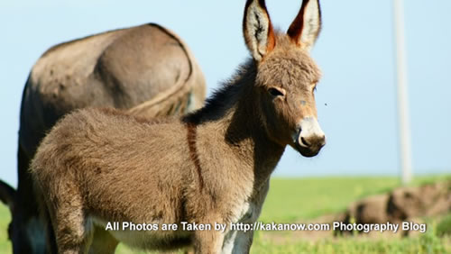 China travel, Inner Mongolia, Horqin prairie, donkey mother and her baby. Photo by KaKa.