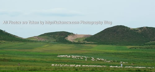 China travel, Inner Mongolia prairie, goat flock. Photo by KaKa.