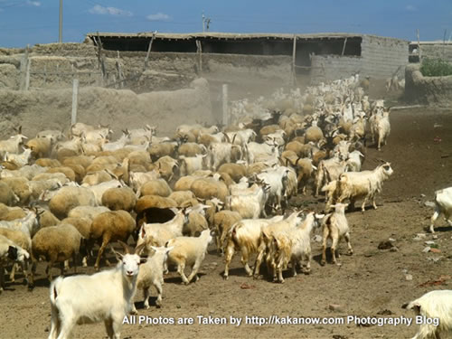 China travel, Inner Mongolia, Horqin Prairie, goats in village. Photo by KaKa.