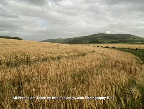 China travel, Inner Mongolia, Hing'an, Aer Mountain, ripe wheat. Photo by KaKa.