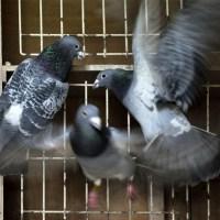 Бельгийские почтовые голуби