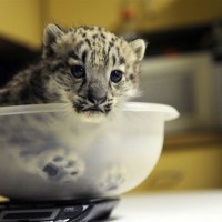Сколько весит котенок леопарда?