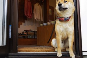 柴犬店長のお店「GOKOTI YUIGAHAMA」20③まこ