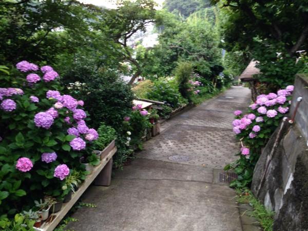 大町五丁目の紫陽花①(sojiro)