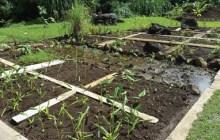 The mala located near Hale A'o consists of over 30 different Hawaiian medicinal herbs. – Tammy Pratt
