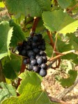 rheingau grapes vineyards