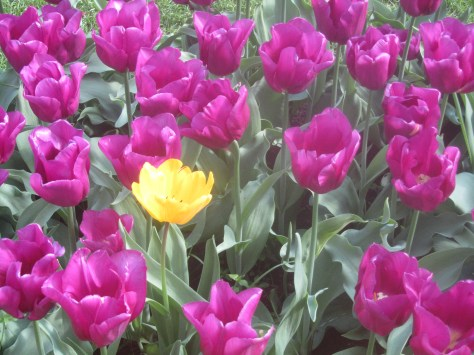 stand out in a crowd, yellow tulip, purple tulips