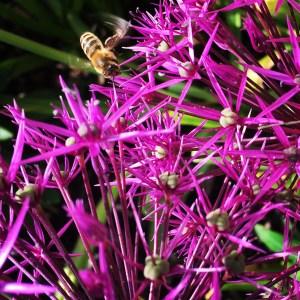 beautiful allium and bumblebee