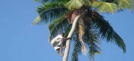 Coconut_harvesting.2