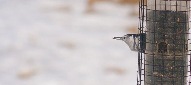seedbird