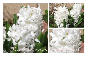 Wordless Wednesday Hyacinth