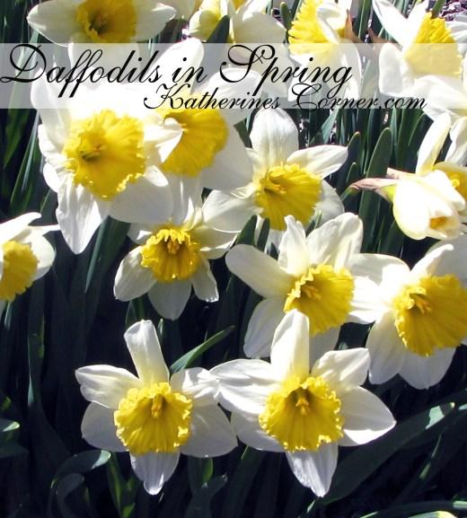 daffodils in spring katherines corner