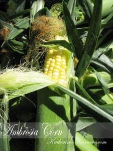 Sweet Ambrosia Corn