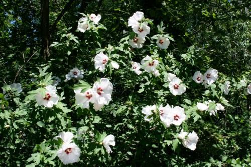 Medium Of Pruning Rose Of Sharon