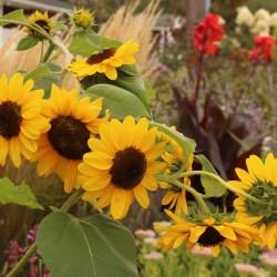 Sunflowers « Sorta Like Suburbia