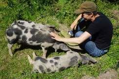 sortbroget dansk landrace gris