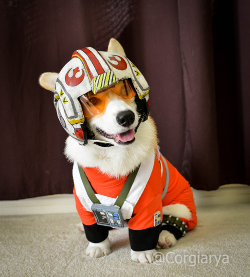 Rebel Corgi