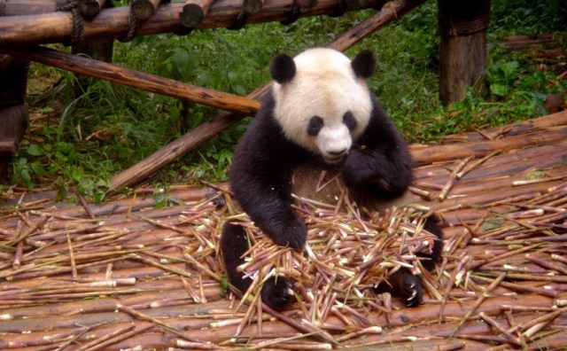 Panda eating a pile of reeds that are sitting on its lap