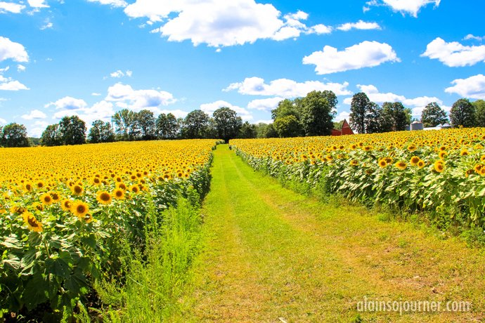 Hamilton Sunflower Field in Ontario 13