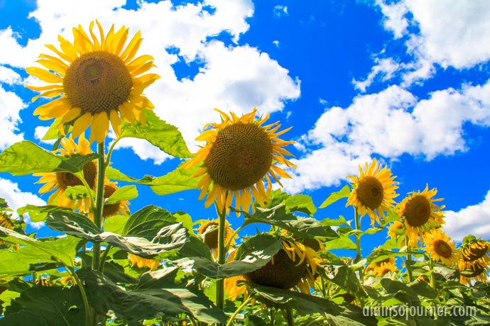 Hamilton Sunflower Field Ontario