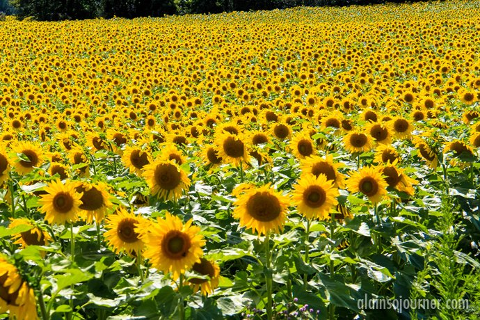 Sunflower Field in Hamilton, Ontario.