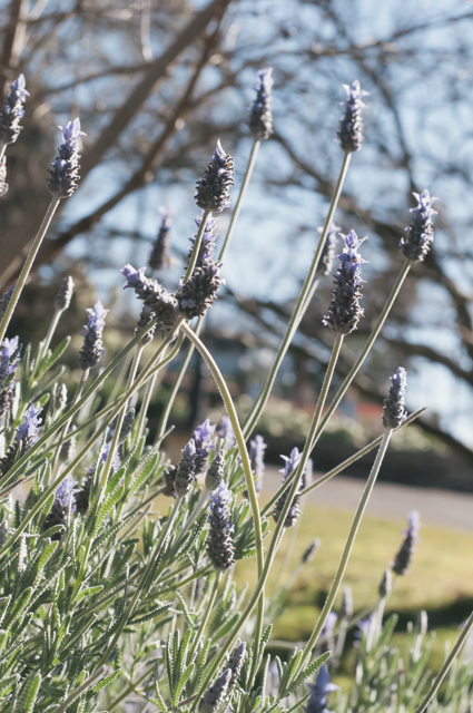 lavender at menabillie manor