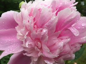 Big pink peony
