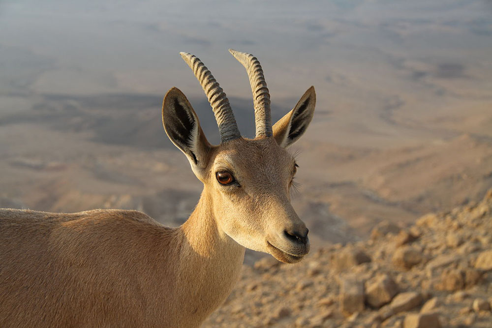 The Ibex, a type of Goat, is included in the list of kosher four-legged animal's required by the mitzvah of zroa, lechayayim and keva
