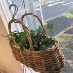 最近は観葉植物を育てるの上手になりました