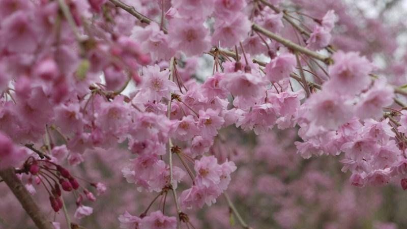 桜のエール
