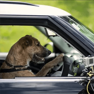 Dog Driving Cars-Interesting Facts About Dogs