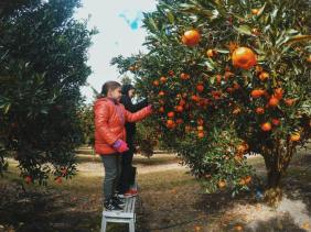Watkins Family Farm : Pick Your Own Mandarins A Short Trip From Sydney