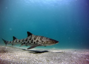 Leopard sharks prefer to stay in muddy or sandy flats