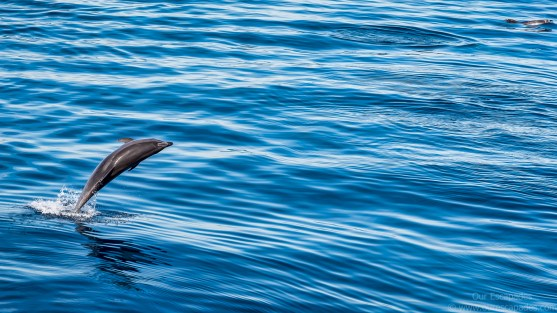 Dolphins playing offshore is not an uncommon site on Catalina.