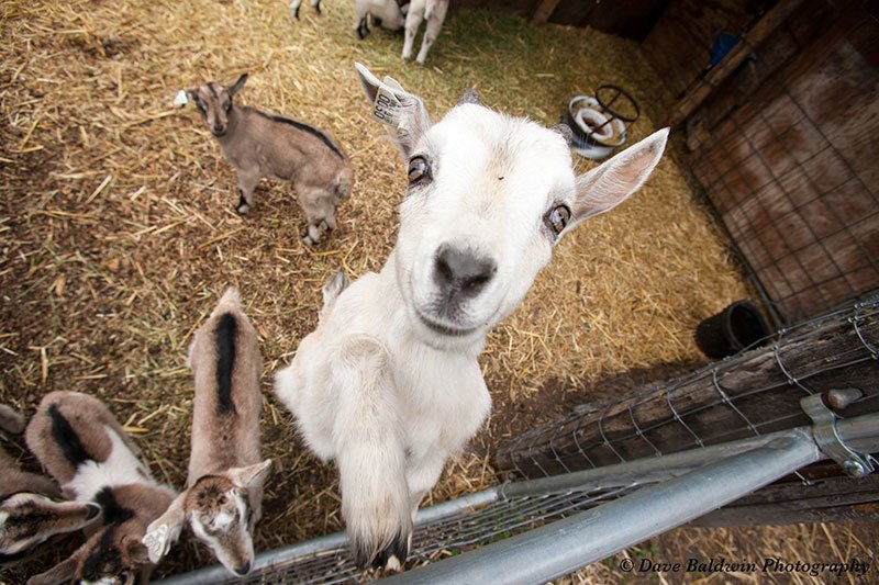 Goats at Willow Witt farm. Photo by Dave Baldwin Photography, courtesy North State Parent.