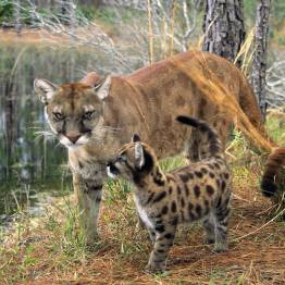 The Florida panther is found exclusively in the Everglades National Park. Luckily, its numbers have been rising since the 1970s.