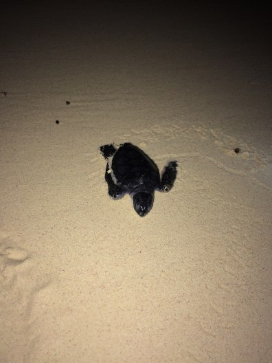 Volunteer often patrol the beach during egg season making sure these little guys make it to the ocean without visitors getting in their way. This one made it safely into the surf.