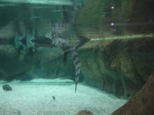 Crocodile at the Moskvarium Moscow