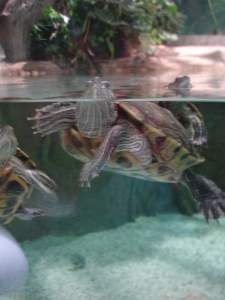 Turtle at the Moskvarium Moscow