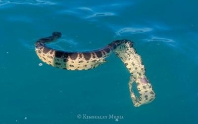 Sea snake with a broken back
