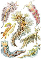 422px-Haeckel_Nudibranchia