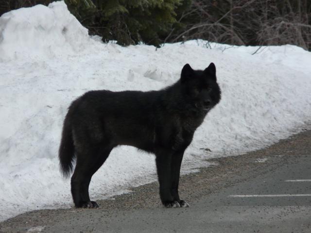 """Romeo"", an Alexander Archipelago Wolf (Canis lupus ligoni) (USFS 2009)"