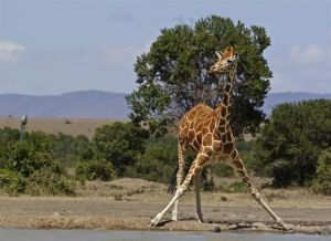 Reticulated giraffe in the wild (Credit: © Biopix: J Madsen   (CC BY-NC 3.0)