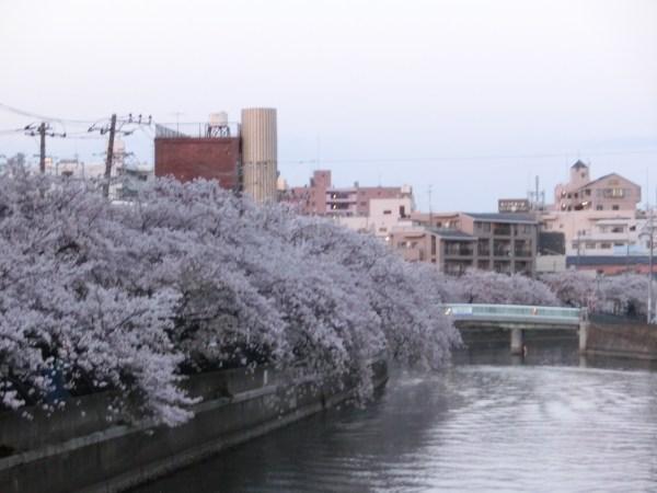 大岡川 桜まつり 花見 の様子
