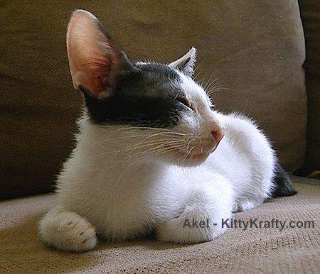 akel kucing