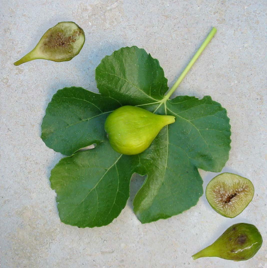 Fullsize Of Desert King Fig