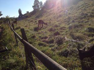 Alpaca's in de Zweedse tropen.