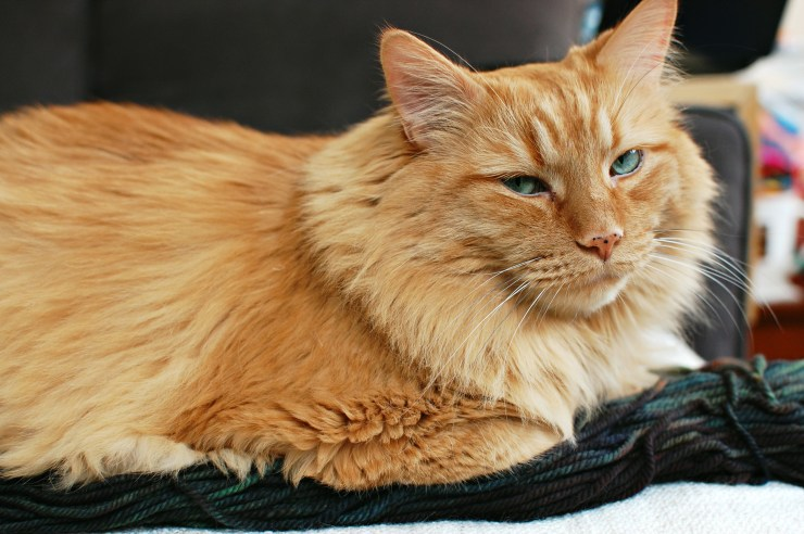 Gatsby Cat | knittedbliss.com