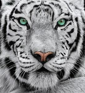 white_tiger_1